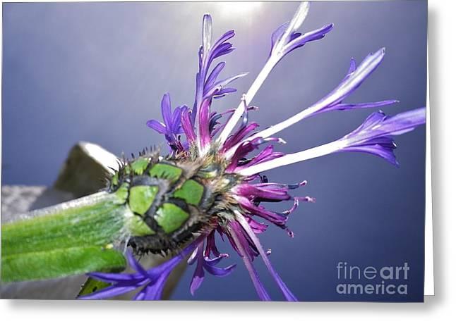 Sunburst Cornflower Greeting Card
