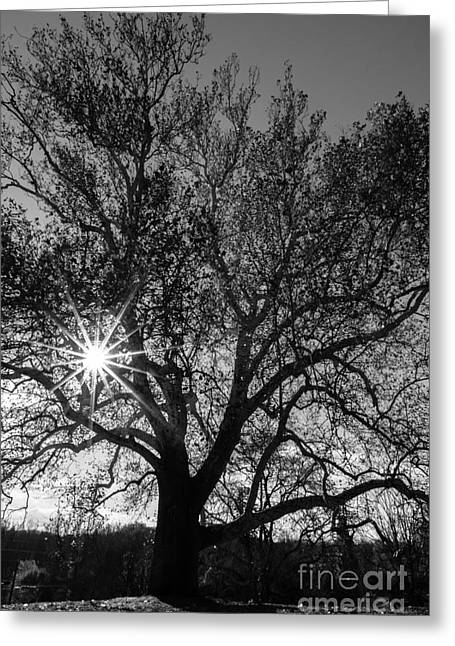 Sunburst Through The Branches Greeting Card by David March