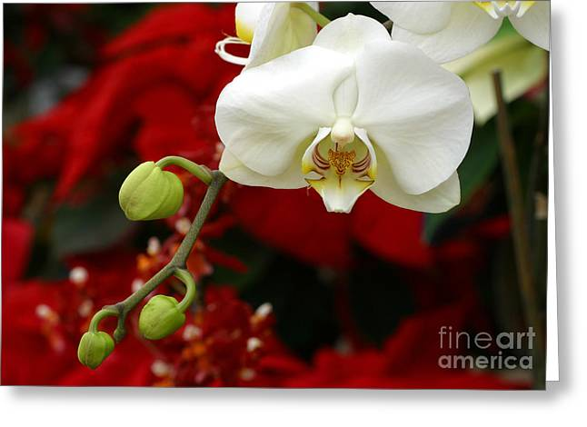 Sunday Afternoon Orchid Greeting Card