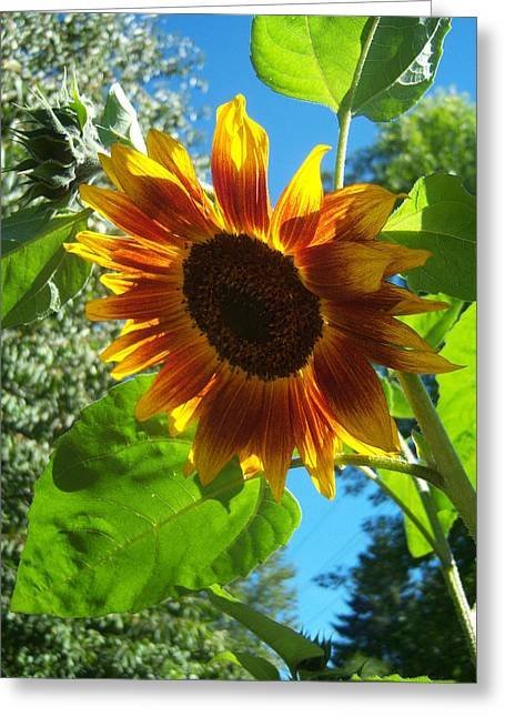Sunflower 101 Greeting Card by Ken Day