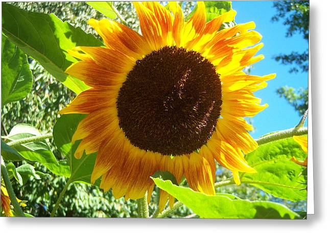Sunflower 103 Greeting Card by Ken Day