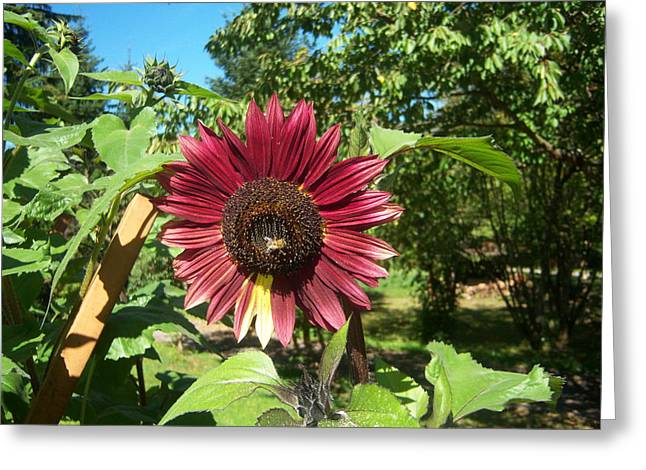 Sunflower 126 Greeting Card by Ken Day