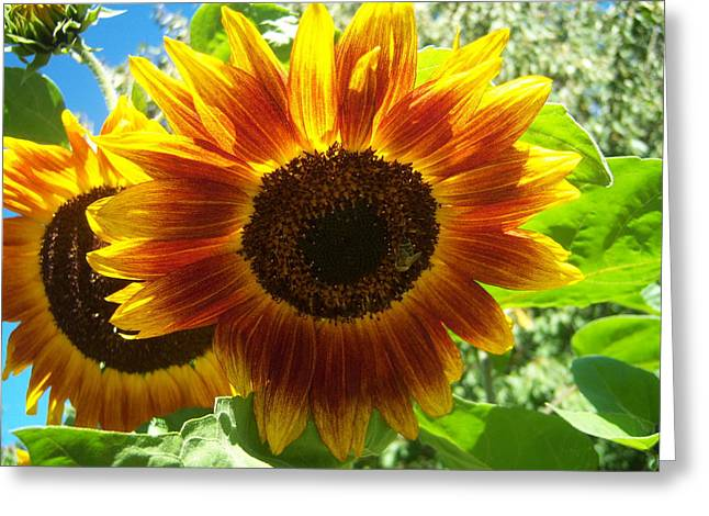 Sunflower 140 Greeting Card by Ken Day