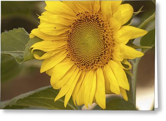 Sunflower-2 Greeting Card by Alexander Rozinov