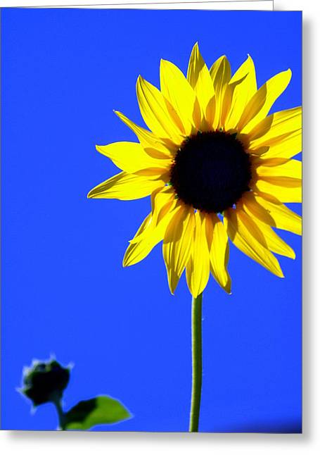 Sunflower 2 Greeting Card by Marty Koch
