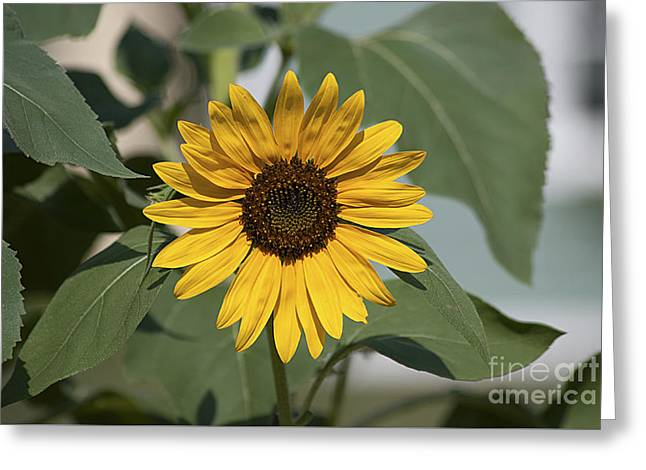Greeting Card featuring the photograph Sunflower 20120718_06a by Tina Hopkins