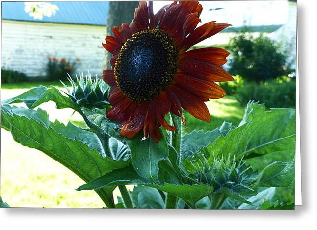 Sunflower 2015 0 Greeting Card