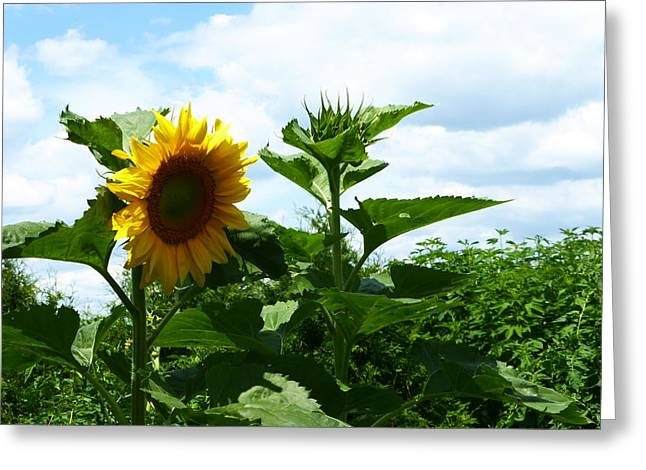 Sunflower 2015 11 Greeting Card