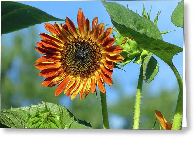 Sunflower 2016 5 Of 5 Greeting Card