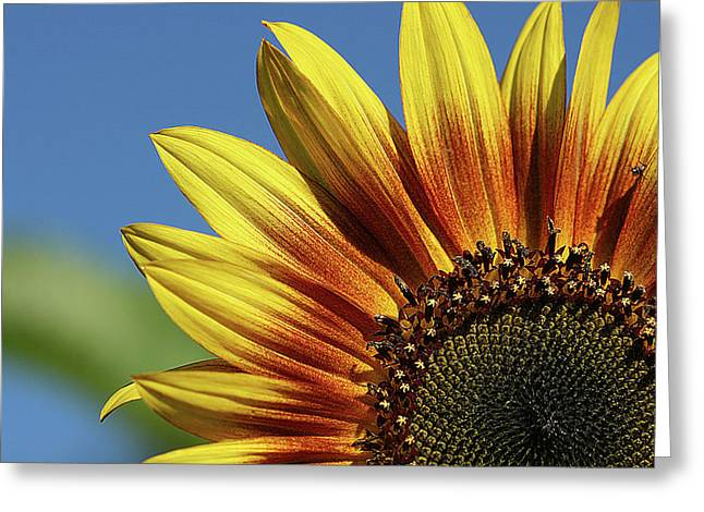 Sunflower 38 Greeting Card