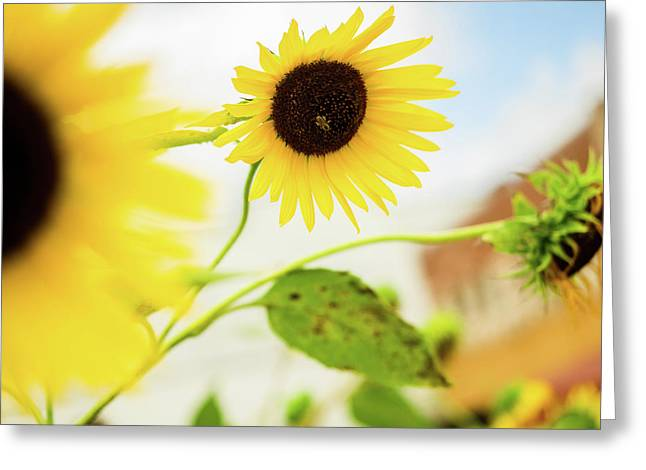 Sunflower And The Bee Greeting Card