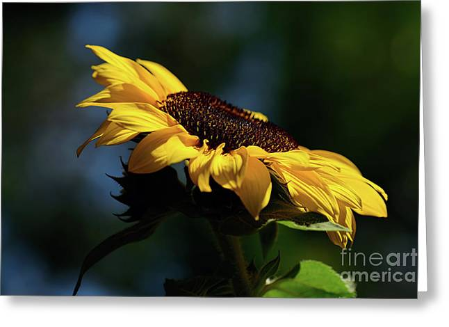 Sunflower At Sunset By Kaye Menner Greeting Card
