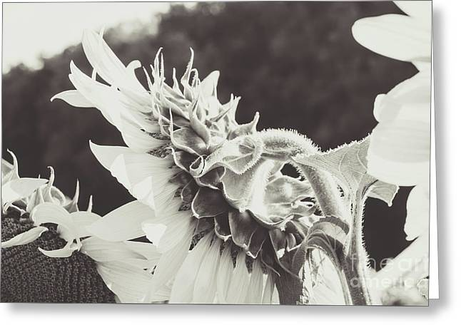Greeting Card featuring the photograph Sunflower Black And White by Andrea Anderegg