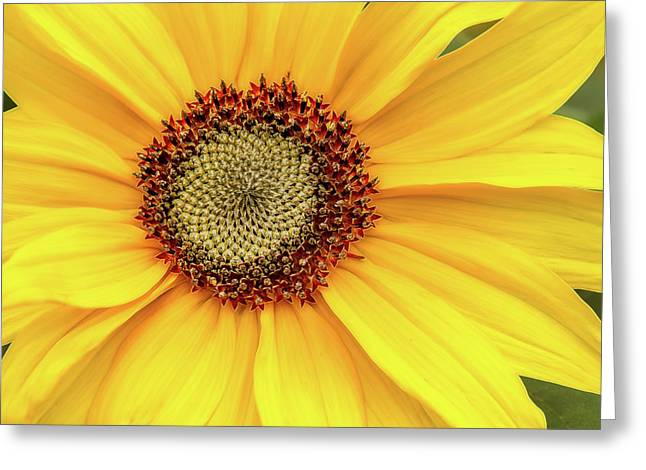 Sunflower Bright Greeting Card