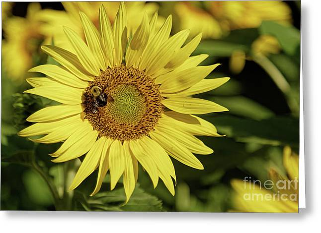 Sunflower Bumble Greeting Card
