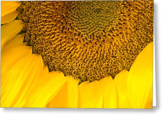 Sunflower Greeting Card by Charlie Hunt