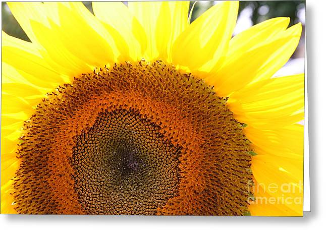 Sunflower Greeting Card by Chuck Kuhn