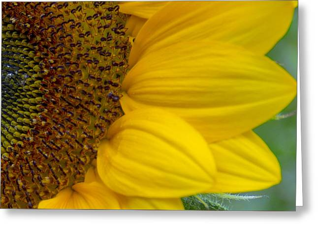 Sunflower Closeup Greeting Card