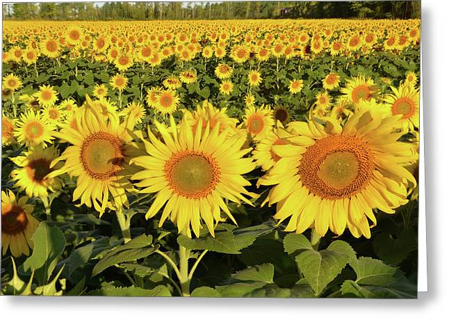 Greeting Card featuring the photograph Sunflower Faces by Ann Bridges
