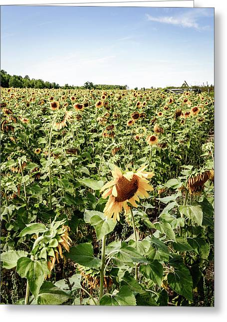 Greeting Card featuring the photograph Sunflower Field by Alexey Stiop