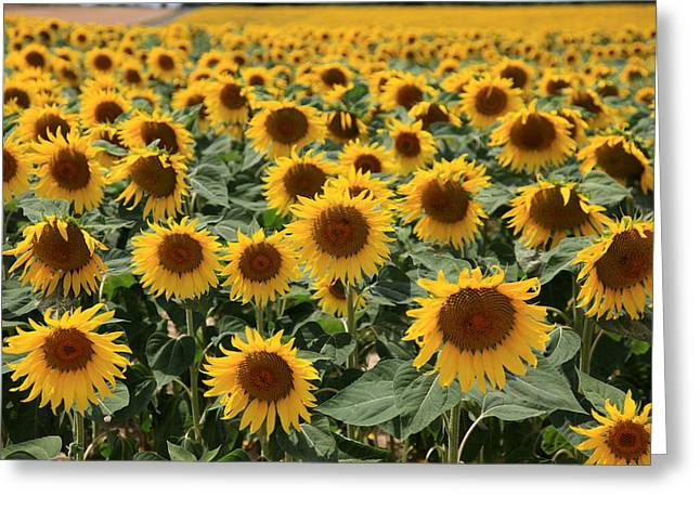 Sunflower Field France Greeting Card by Pauline Cutler