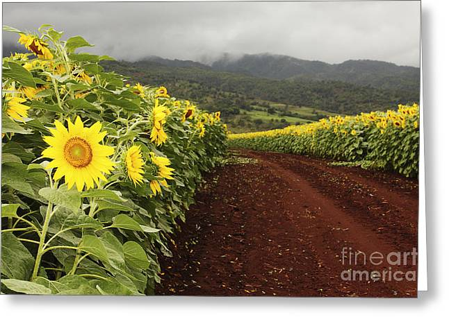 Sunflower Field Greeting Card by Vince Cavataio - Printscapes