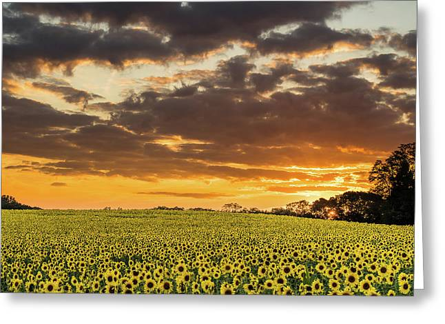 Sunflower Fields Sunset Greeting Card
