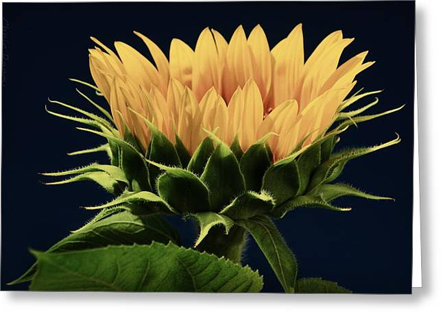 Greeting Card featuring the photograph Sunflower Foliage And Petals by Chris Berry