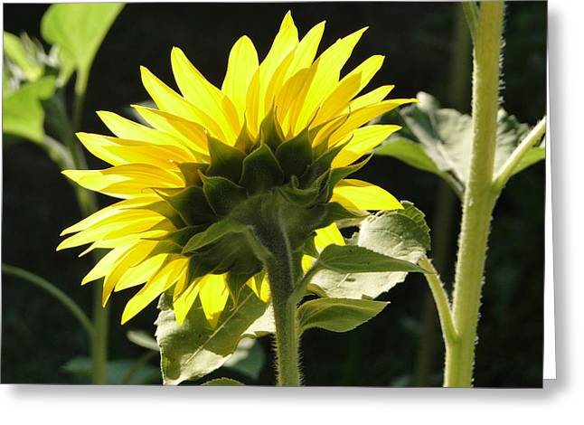 Sunflower From Behind Greeting Card by Liz Vernand