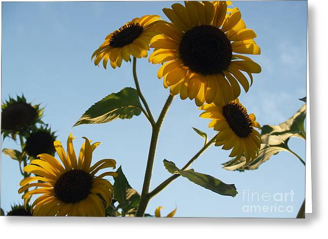 Sunflower Gang From Below Greeting Card by Anna Lisa Yoder