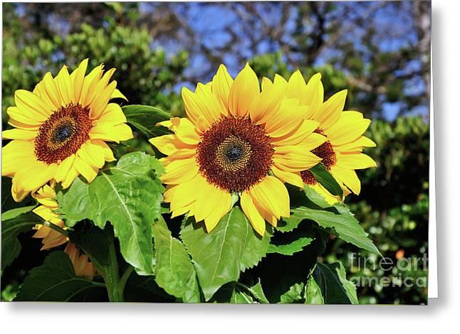Sunflower Garden Greeting Card