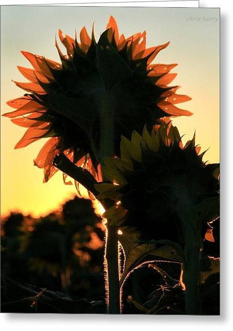 Greeting Card featuring the photograph Sunflower Greeting  by Chris Berry