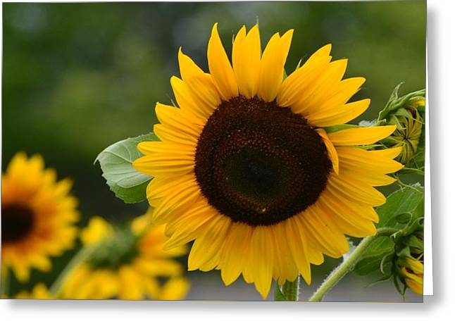 Sunflower Group Greeting Card