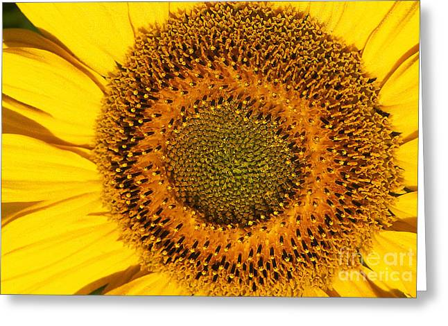 Sunflower Helianthus Greeting Card by Gerard Lacz