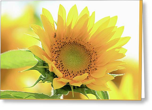 Sunflower In Golden Glow Greeting Card