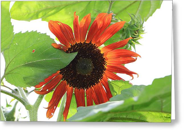 Sunflower In The Afternoon Greeting Card