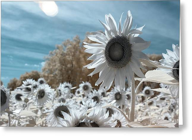 Sunflower Infrared  Greeting Card
