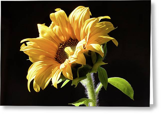 Sunflower Isloated On Black Greeting Card