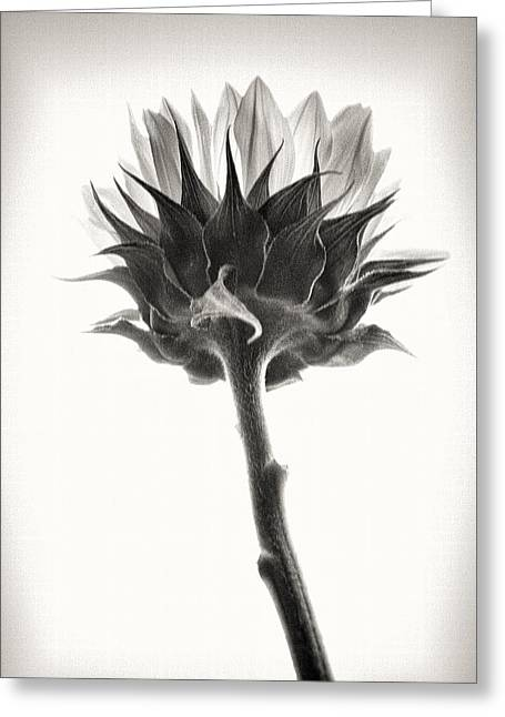 Greeting Card featuring the photograph Sunflower by John Hansen