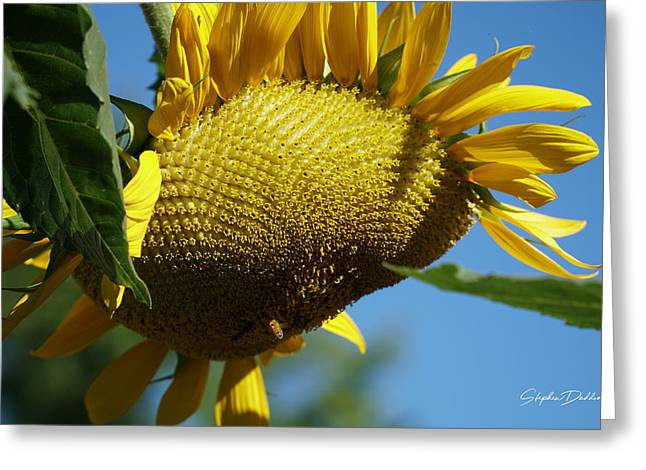 Sunflower, Mammoth With Bees Greeting Card