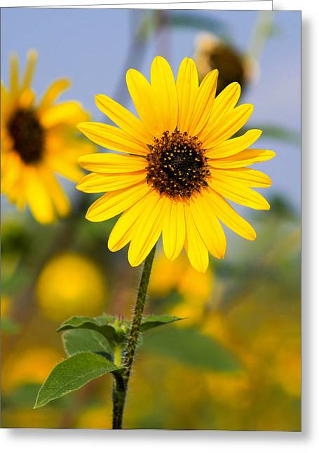 Sunflower Greeting Card by Mark Weaver