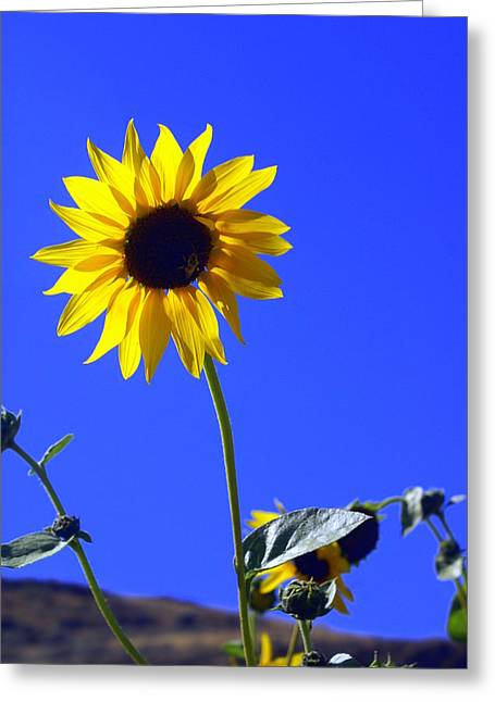Sunflower Greeting Card by Marty Koch