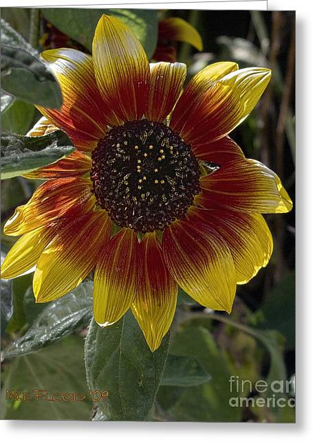 Greeting Card featuring the photograph Sunflower by Michael Flood