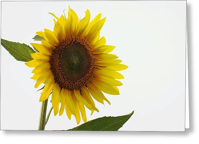 Sunflower Minimal Greeting Card by Joseph Skompski