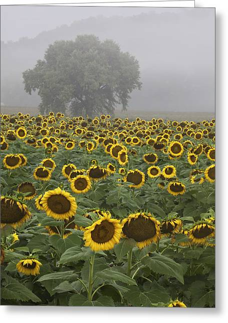 Rob Travis Greeting Cards - Sunflower Morning Vertical Greeting Card by Rob Travis