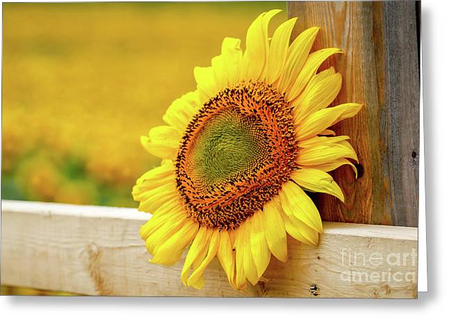 Sunflower On The Fence Greeting Card