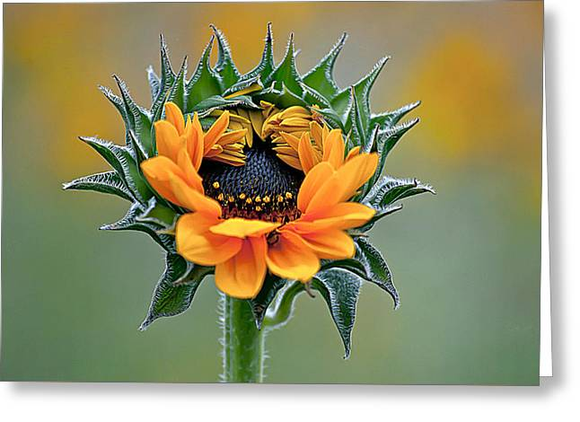 Sunflower Opens Greeting Card by Emerald Studio Photography