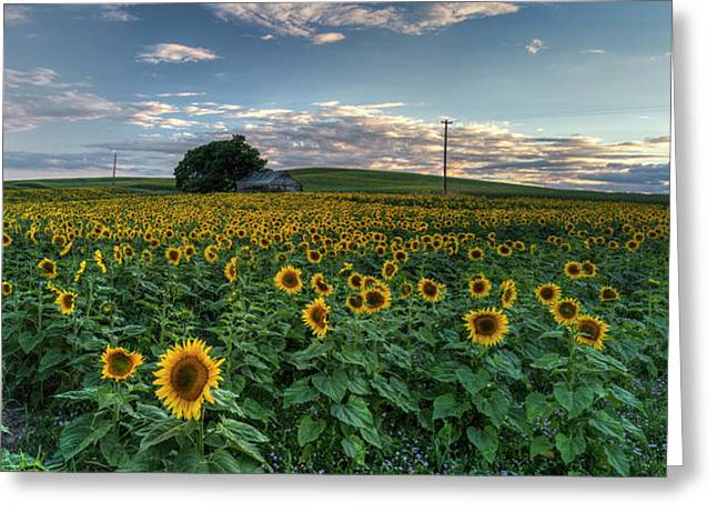 Sunflower Panorama Greeting Card by Mark Kiver