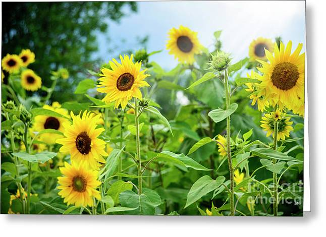 Sunflower Patch Greeting Card by Alana Ranney
