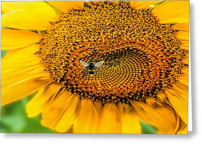 Sunflower Patch Greeting Card by Pat Cook